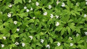Muchos snowdrops Hojas del verde y flores blancas Naturaleza del resorte metrajes