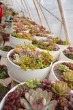 Muchos succulents en conserva Fotos de archivo libres de regalías