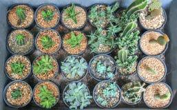 Muchos tipo de cactus crecen en potes Imagen de archivo