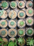 Muchos tipo de cactus crecen en potes Imagenes de archivo