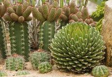 Muchos tipos de cactus Imagen de archivo libre de regalías
