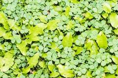 Muchos tréboles de la tres-hoja en hierba Fotos de archivo libres de regalías