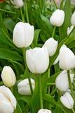 Muchos tulipanes blancos Imagen de archivo libre de regalías
