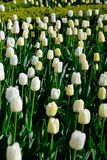 Muchos tulipanes blancos bajo luz del sol de la mañana en el parque Foto de archivo