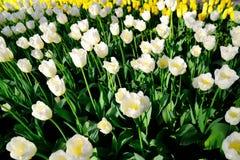 Muchos tulipanes blancos bajo luz del sol de la mañana en el parque Imagenes de archivo
