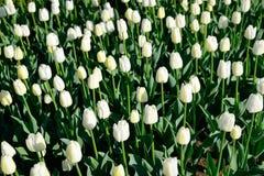 Muchos tulipanes blancos bajo luz del sol de la mañana en el parque Sol brillante Fotografía de archivo