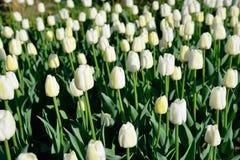 Muchos tulipanes blancos bajo luz del sol de la mañana en el parque Sol brillante Imagenes de archivo