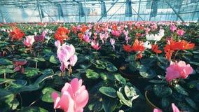 Muchos tulipanes coloridos que crecen en un invernadero grande, industria de la agronomía almacen de video