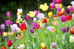Muchos tulipanes en el jardín Imagen de archivo