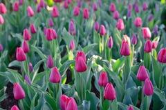 Muchos tulipanes rojos bajo luz del sol de la mañana en el parque Fotografía de archivo