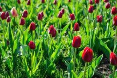 Muchos tulipanes rojos bajo luz del sol de la mañana en el parque Contraluz Imagen de archivo