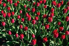 Muchos tulipanes rojos bajo luz del sol de la mañana en el parque Sunli brillante Foto de archivo
