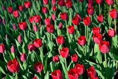 Muchos tulipanes rojos bajo luz del sol de la mañana en el parque Sunli brillante Imagen de archivo libre de regalías