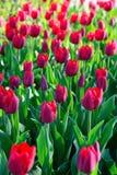 Muchos tulipanes rojos bajo luz del sol de la mañana en el parque Sunli brillante Imágenes de archivo libres de regalías