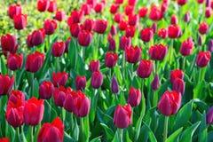 Muchos tulipanes rojos bajo luz del sol de la mañana en el parque Sunli brillante Foto de archivo libre de regalías