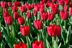 Muchos tulipanes rojos bajo luz del sol de la mañana en el parque Sunli brillante Imagenes de archivo