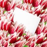 Muchos tulipanes rojos con la tarjeta Fotografía de archivo