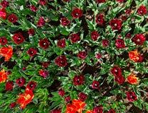 Muchos tulipanes rojos en cama de flor Fotos de archivo