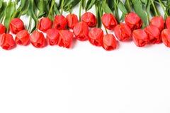 Muchos tulipanes rojos hermosos con las hojas verdes en el fondo blanco fotografía de archivo