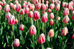 Muchos tulipanes rosados bajo luz del sol de la mañana en el parque Brotes cerrados Imagen de archivo