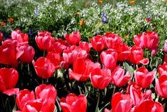 Muchos tulipanes rosados delante de wildflowers fotografía de archivo