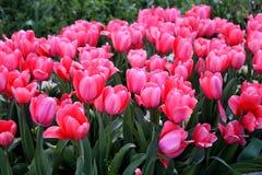 Muchos tulipanes rosados en la floración imágenes de archivo libres de regalías