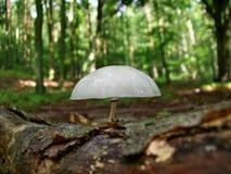 Mucida do oudemansiella do cogumelo Fotos de Stock Royalty Free