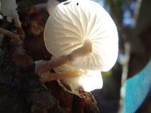 Mucida Oudemansiella - μανιτάρι πορσελάνης Στοκ φωτογραφία με δικαίωμα ελεύθερης χρήσης