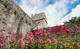 Muckross Abbey flowers Royalty Free Stock Photo