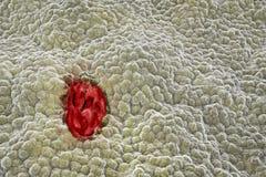 Mucosa dello stomaco con l'ulcera illustrazione di stock