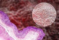 Mucosa, micrografo ed illustrazione dello stomaco illustrazione di stock