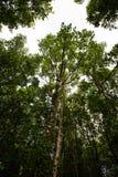 Mucronata ризофоры в мангрове Стоковое Фото