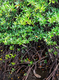 Mucronatawortel van mangrovenrhizophora en groene bladeren royalty-vrije stock foto's