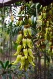 Mucuna birdwoodiana Fotografia Stock