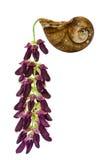 Mucuna pruriens flower royalty free stock photos