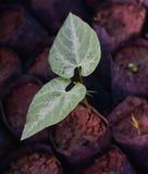 Mucuna Prurita, Fabaceae. Beginning tree Mucuna Prurita, Fabaceae, Mucuna pruriens, Cow_Itch Plant Royalty Free Stock Photos