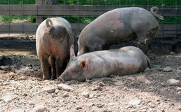Mud Bath. Three pigs digging in the mud to make a cool resting place Royalty Free Stock Photos
