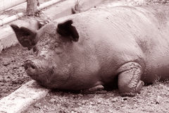 Mud Bath. Sepia image of a very large pig taking a nap after a mud bath Royalty Free Stock Photo