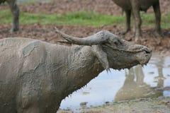 Mud buffalo. Cooling itself near swamp Stock Photo