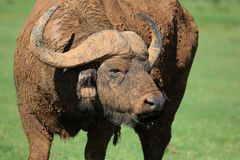 Mud Caked Cape Buffalo Royalty Free Stock Images
