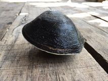 Mud or mangrove clam, Geloina coaxans.  stock photography