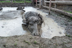In mud Stock Photos