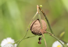 A mud-coated egg-sac built by a spider Royalty Free Stock Photography
