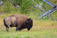 Mud Covered Bison, Yellowstone National Park Royalty Free Stock Images