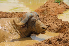 Mud Covered Cape Buffalo. A Cape Buffalo nearly covered completely in wet sticky mud while laying down inside a large mud hole Royalty Free Stock Images