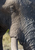 Mud covered Elephant - Botswana Royalty Free Stock Image