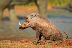 Mud covered warthog Stock Photo