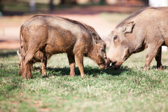 Mud covered warthogs feeding on grass Stock Photo