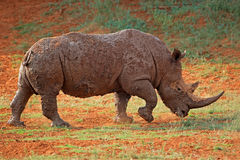 Mud-covered white rhinoceros Stock Photos