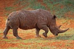 Mud-covered white rhinoceros Stock Photos